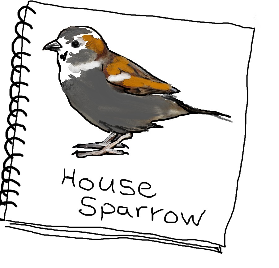 housesparrowsketch3